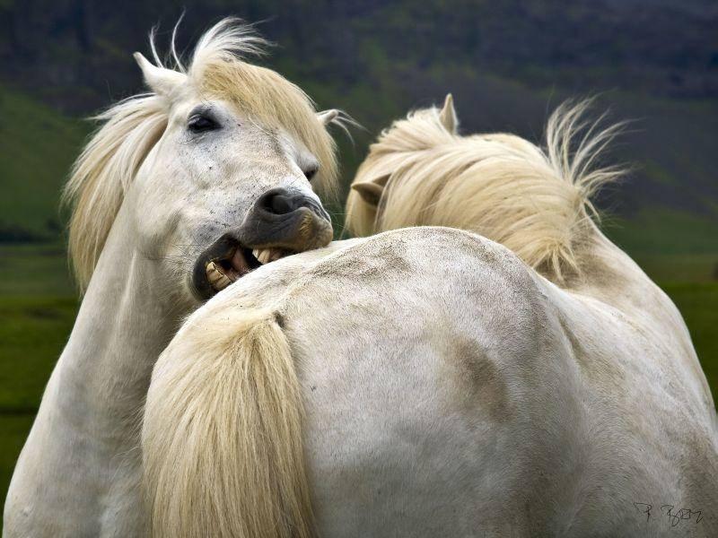 Idyllisch: Zwei Islandpferde bei der Fellpflege — Bild: Shutterstock / piotr beym