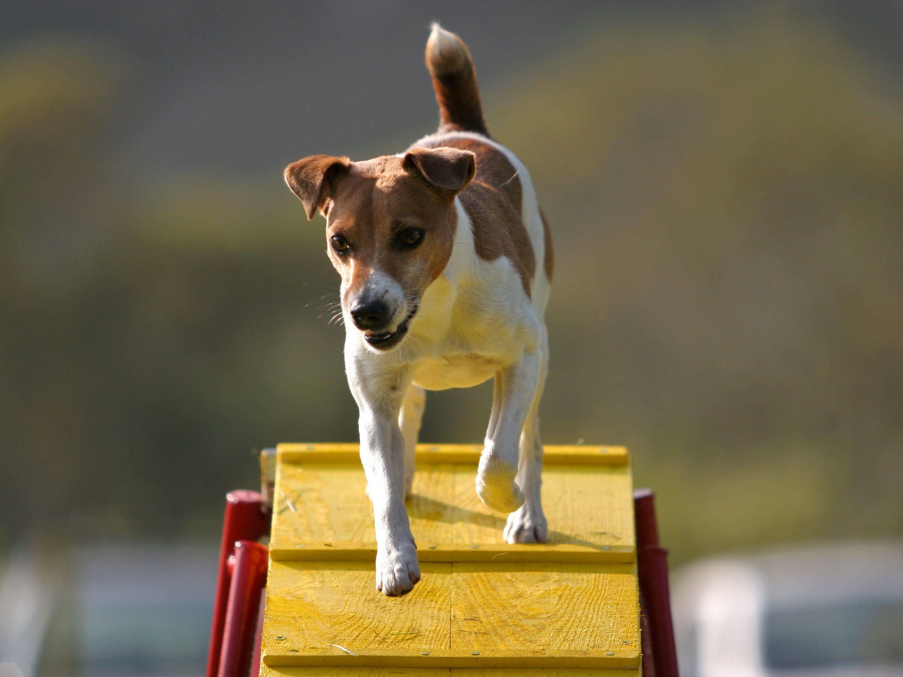 Jack Russell beim Abstieg von der Schrägwand: Beim Agility ist höchste Konzentration angesagt — Bild: Shutterstock / Andraž Cerar