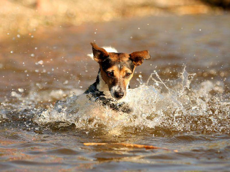 Der Sprung ins kalte Wasser: Jack Russell Terrier sind weder zimperliche, noch wasserscheue Hunde — Bild: Shutterstock / Elisabeth Hammerschmid