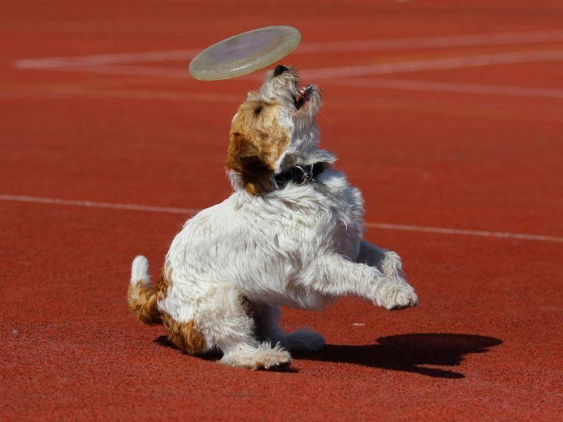 Das ist meiner! Ein Jack Russell Terrier ist ein Hund, der weiß, was er will — Bild: Shutterstock / Harm Kruyshaar
