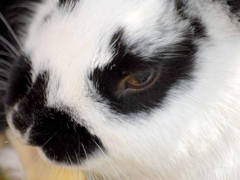 Ganz nah: Kaninchen im gepunkteten Pelz — Bild: Shutterstock / Marcel Jancovic