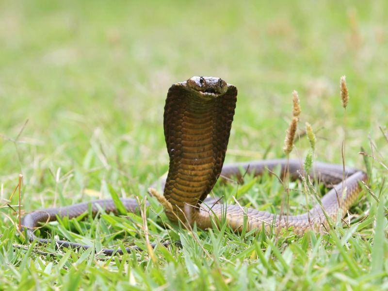 Kapkobra: Das Gift lässt die Atmung aussetzen — Bild: Shutterstock / Four Oaks