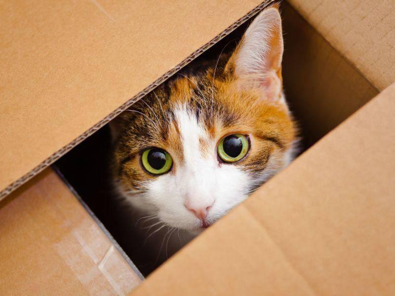 Ein Klassiker unter den Katzenverstecken: Der Karton — Bild: Shutterstock / S.Castelli