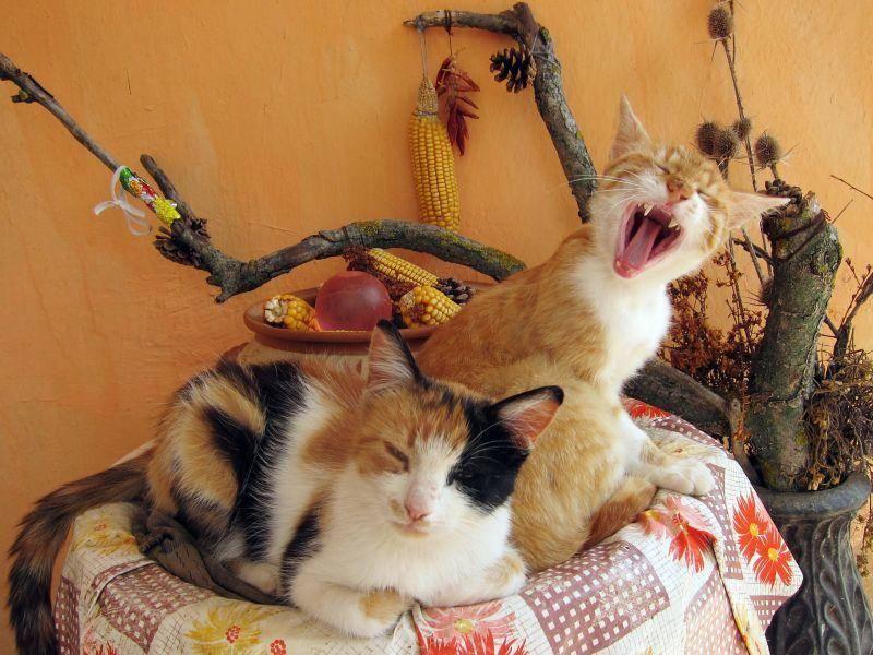Gähn! Welche dieser beiden Katzen ist müder? — Bild: Shutterstock / Boykov