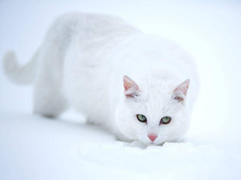 Hauskatze beim Schneeausflug: Perfekt getarnt — Bild: Shutterstock / DragoNika