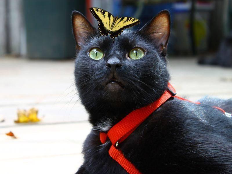 Schwarze Katze, bunter Schmetterling: Farblich aufeinander abgestimmt — Bild: Shutterstock / Barry Blackburn
