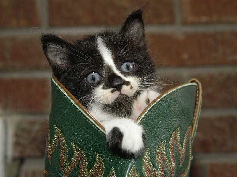 Katzenbaby im Cowboystiefel: Findet mich keiner? Dann komm ich eben wieder raus — Bild: Shutterstock / Dale A Stork