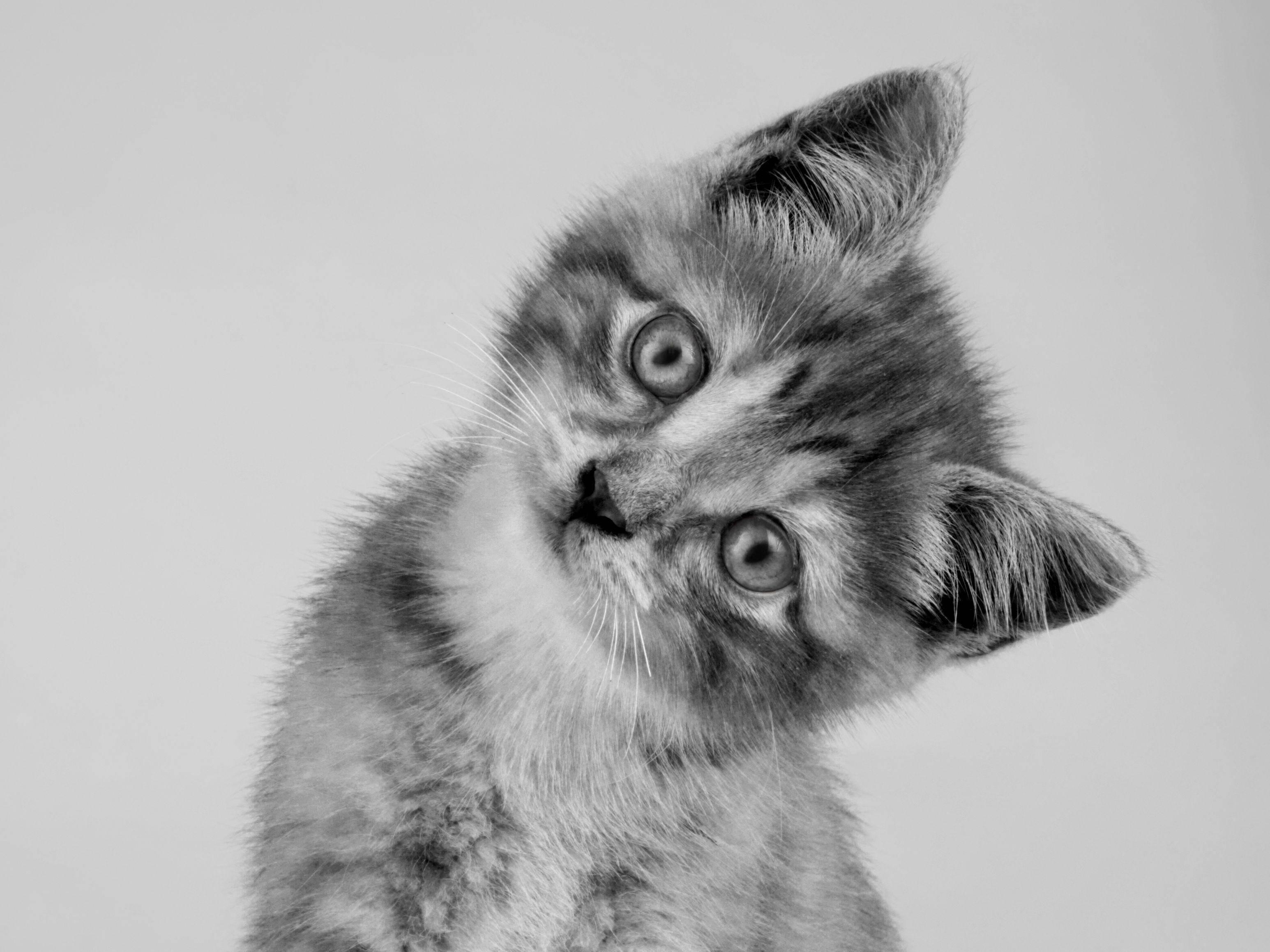 Platz 2: Ganz kleine Katze, ganz viele Likes: Dieses Kitten ist auch in Schwarzweiss-Optik zum Knuddeln — Bild: Shutterstock / Lana Langlois