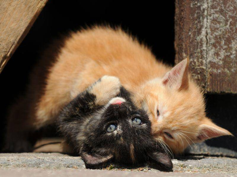 Was kann man mit Katzengeschwistern am besten? Natürlich toben! — Bild: Shutterstock / Schubbel