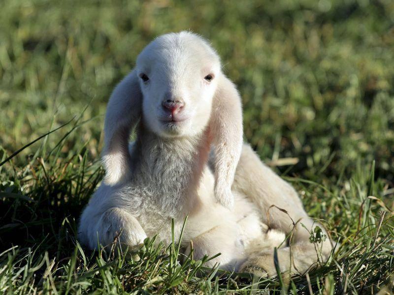 Zum klauen süßes Lamm: Süße Schlappohren und ein unschuldiger Blick — Bild: Shutterstock / Fulcanelli