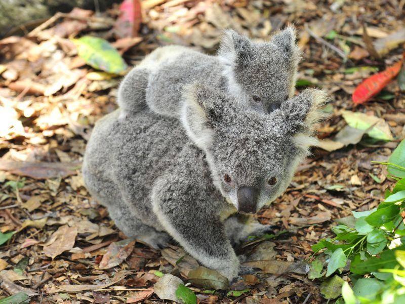 ... weil der Koala gerne Taxi spielt — Bild: Shutterstock / worldswildlifewonders