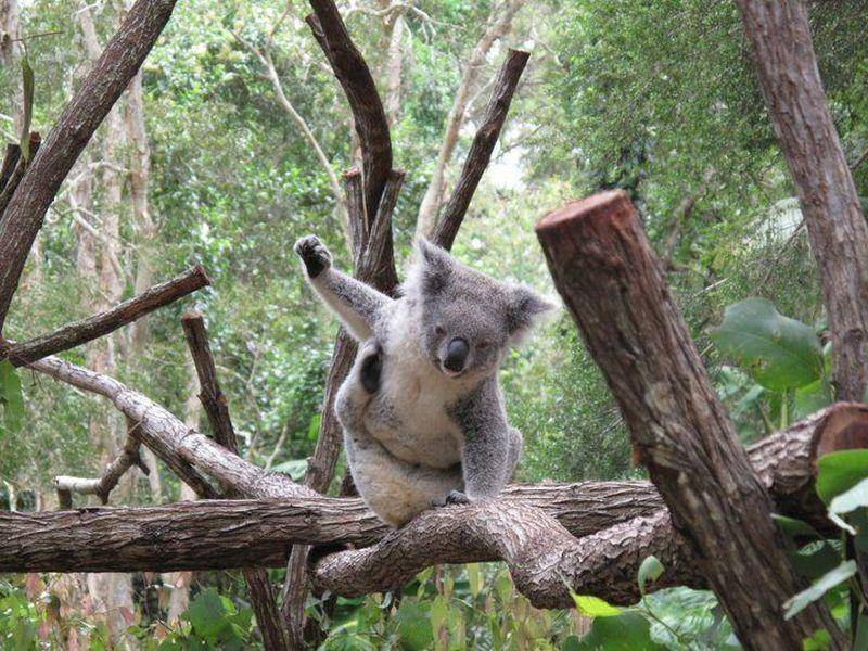 ... weil der Koala immer einen Grund zum Feiern hat — Bild: (CC): Flickr / marragem