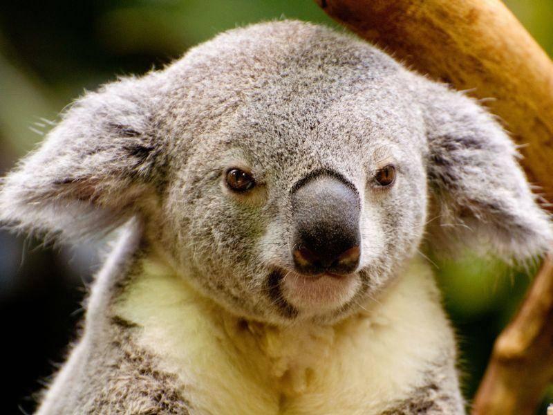 ... und weil der Koala noch süßer aussieht, wenn er die Ohren zur Seite klappt — Bild: Shutterstock / RuthChoi