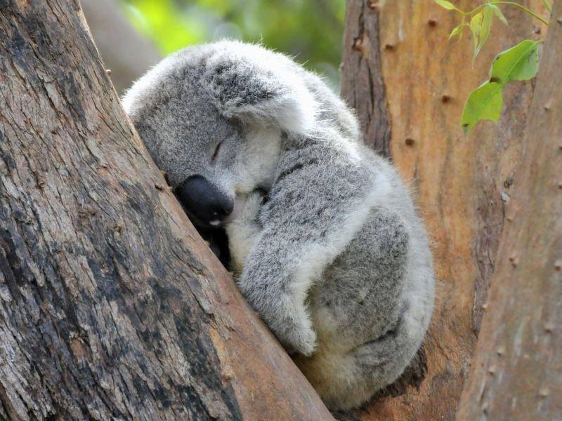 ... weil der Koala einfach überall schlafen kann — Bild: Shutterstock / Andywak