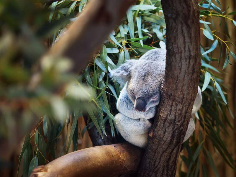 Eukalyptusbaum: Perfekter Schlafplatz für müde kleine Koalas — Bild: Shutterstock / Justin Black