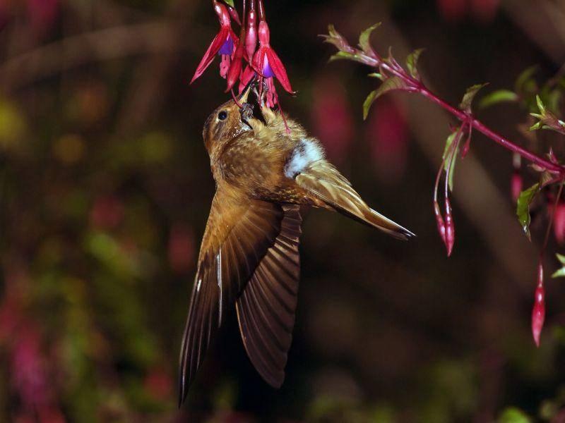 Kolbri: Schafft 80 Flügelschläge in der Sekunde – Bild: Shutterstock / Moritz Buchty