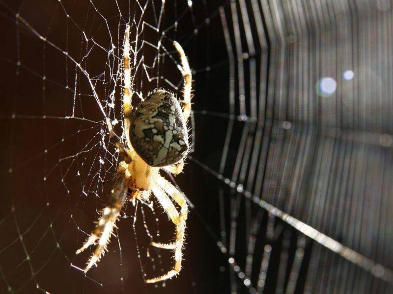 Vor Spinnen haben Menschen am meisten Angst. Dabei leben in Deutschland gar keine gefährlichen Spinnenarten