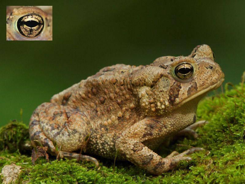 Wer hätte das gedacht? Das faszinierend goldene Auge gehört einer ganz normalen Kröte — Bild: Shutterstock / Tom Reichner