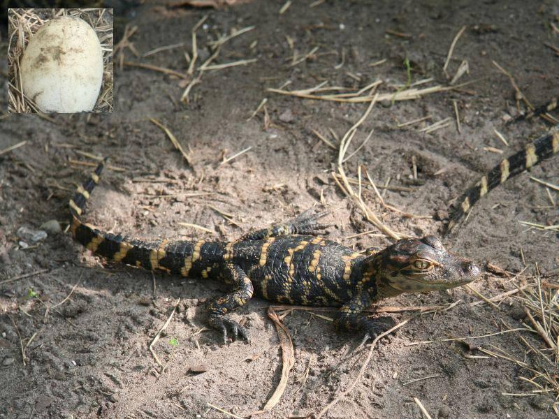 Bekommt man eher selten zu sehen: Krokodileier — Bild: Shutterstock: Leenvdb