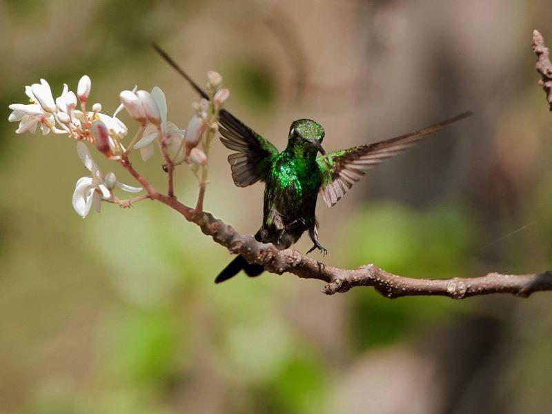 Kubasmaragdkolibri : Ein kleiner, bunter Tropenvogel — Bil: Shutterstock / Sergey Uryadnikov