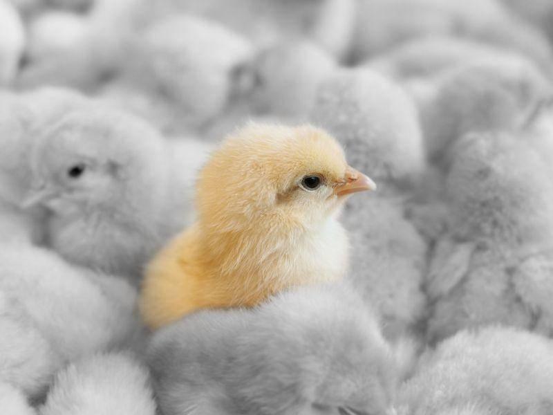 Gelb auf Grau: Kükenfarbenspiel — Bild: Shutterstock / szefei