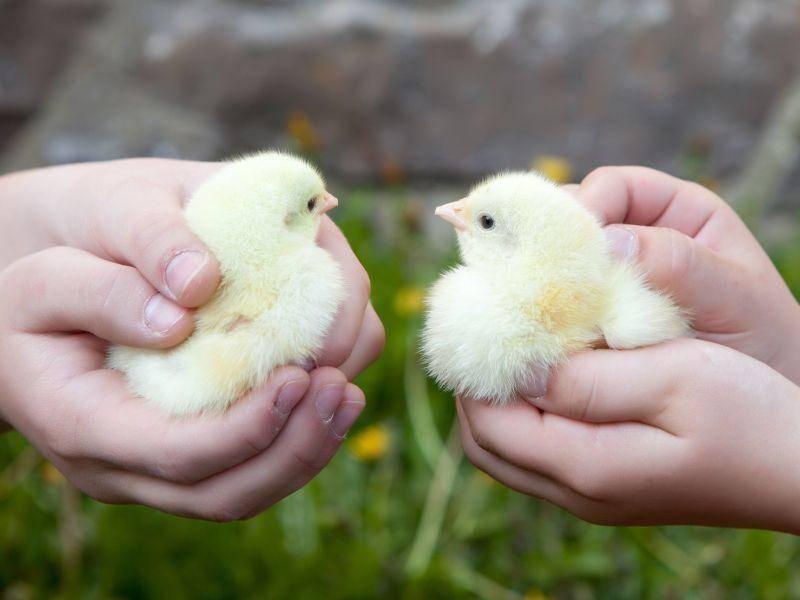 """""""Huch wer bist du denn?"""" Zwei Küken lernen sich kennen — Bild: Shutterstock / spfotocz"""