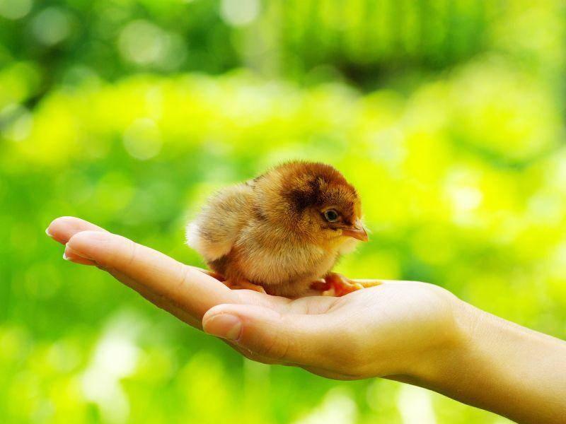 Ganz schön winzig, dieses frisch geschlüpfte Küken — Bild: Shutterstock / Pakhnyushcha