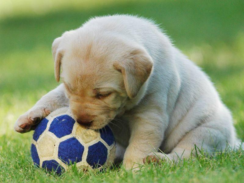 Perfekter Spielspaß für ein Hundebaby: Retriever mit Ball — Bild: Shutterstock / Waldemar Dabrowski