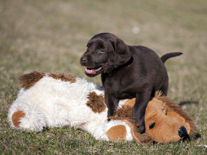 Dieser Labrador Retriever hat ein Riesenhundebaby zum Spielen gefunden — Bild: Shutterstock / Silver30