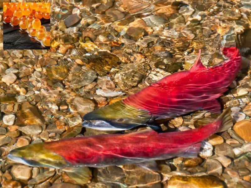 Die durchsichtigen orangen Eier gehörten zum Lachs — Bild: Shutterstock: phloen