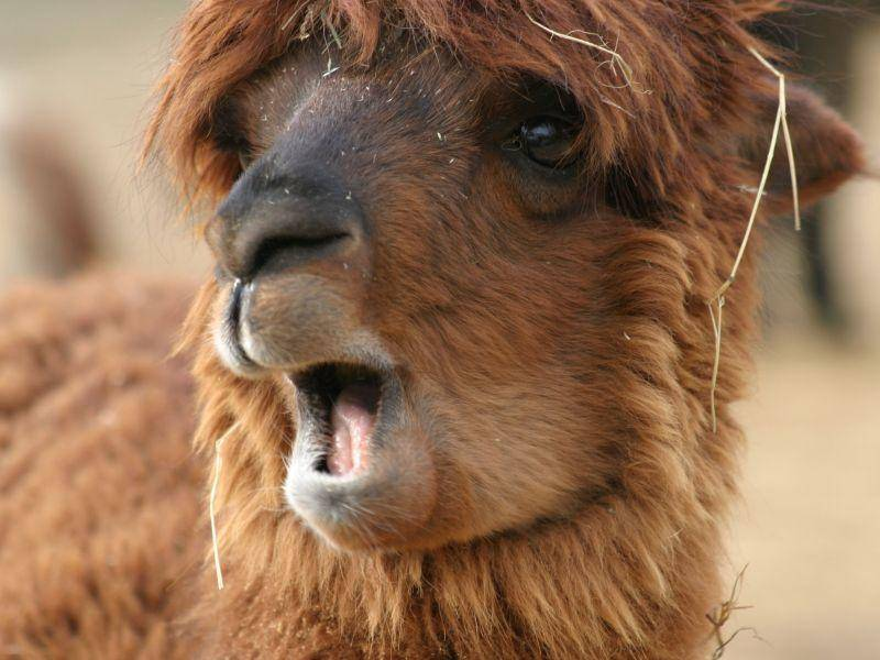 Auch Lamas können ganz schön müde gucken — Bild: Shutterstock / Andrew Skinner