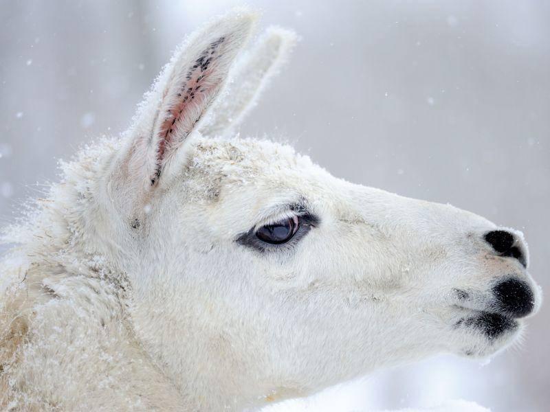 Ein schneeweißes Lama — Bild: Shutterstock / Volodymyr Burdiak