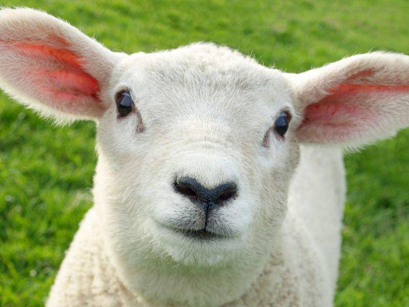 Ganz schön neugierig: Lamm guckt in die Kamera — Bild: Shutterstock / 1000 Words
