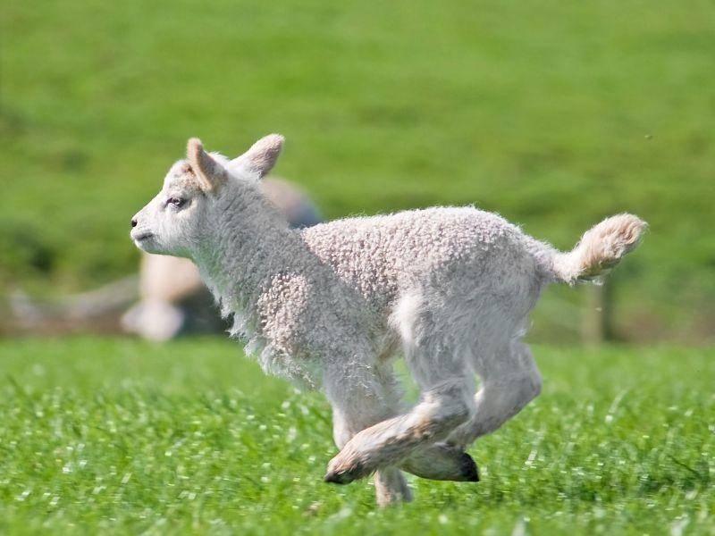 Rennen, toben, spielen: Das macht Lämmern Spaß — Bild: Shutterstock / silvergull