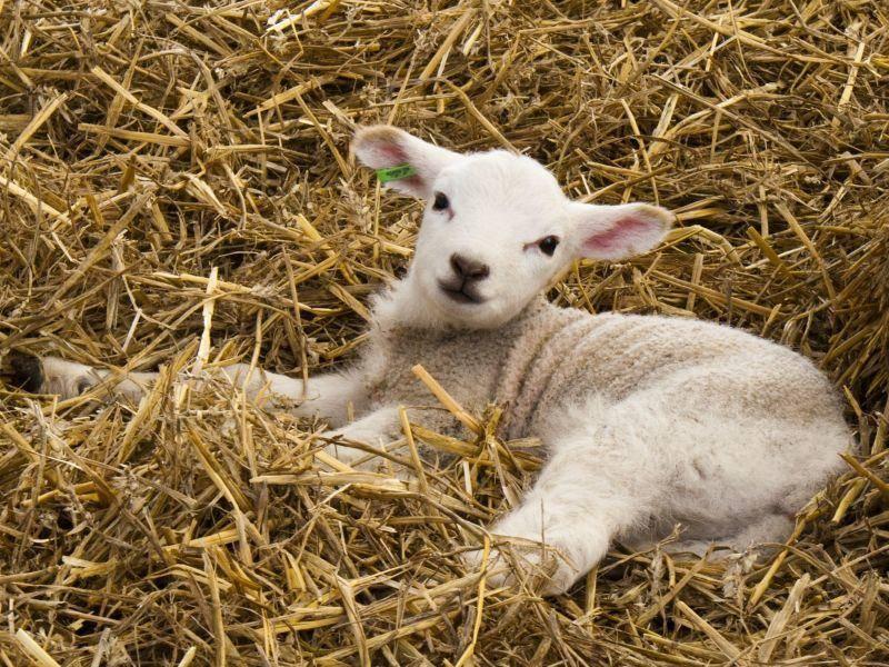 So gemütlich: Ein Lamm ruht sich aus — Bild: Shutterstock / Spoof media