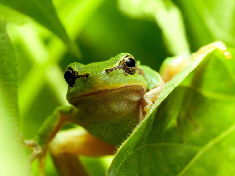 Laubfrosch: Wenn die Außentemperaturen klettern, erwacht er aus der Winterstarre — Bild: Shutterstock / Anest