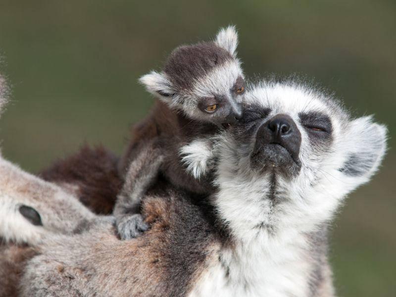 Lemurenmutter mit ihrer Mini-Version — Bild: Shutterstock / Irena Kofman