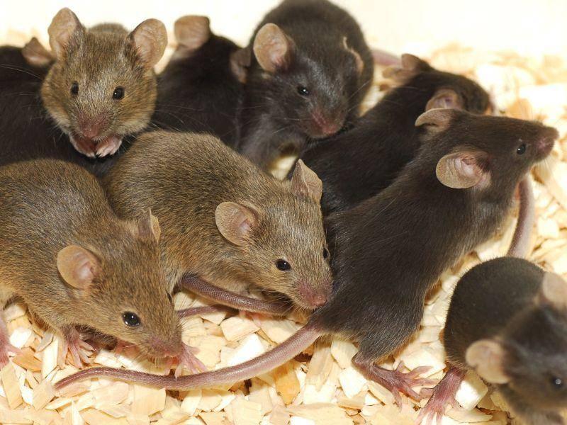 Mäuse und Ratten: Der lange Schwanz und Krankheiten sorgen für Ekel und Angst vor den Nagern