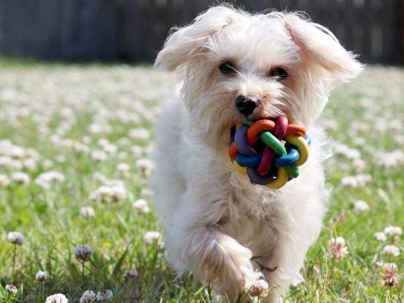 Und Hundespiele wie Apportieren sind für Malteser eine Selbstverständlichkeit — Bild: Shutterstock / Joyce Marrero