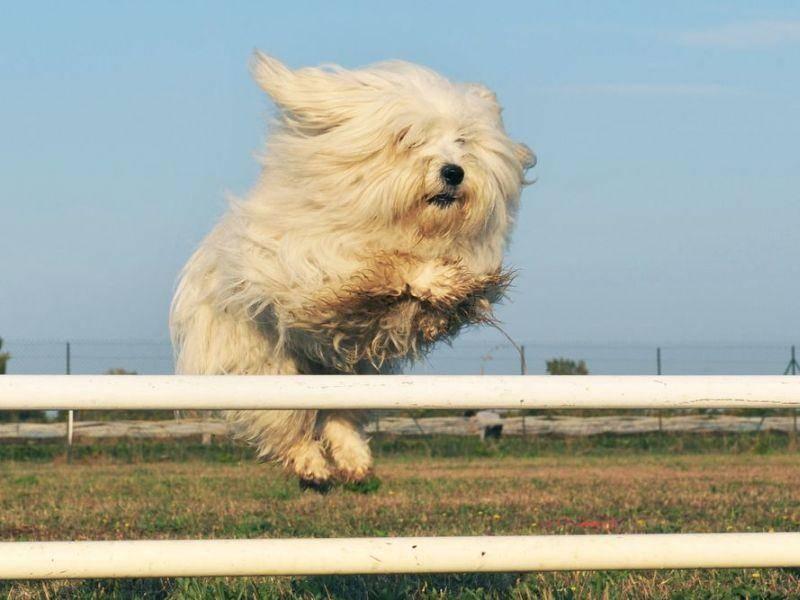 Manche Malteser haben auch nichts gegen ein kleines Hundehindernis — Bild: Shutterstock / cynoclub