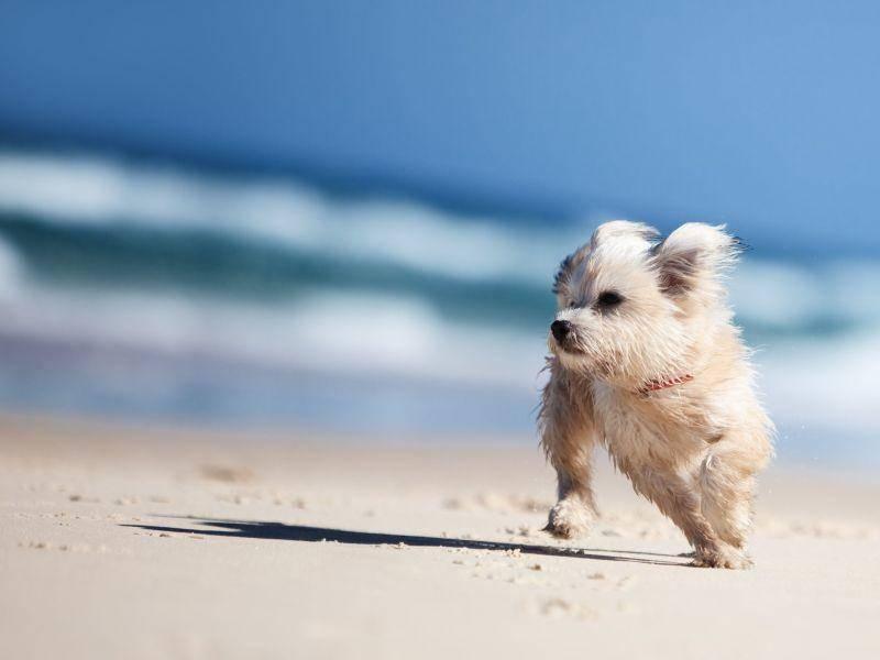 Und was Malteser noch können? Natürlich spielen! Zum Beispiel am Hundestrand. — Bild: Shutterstock / Martin Valigursky