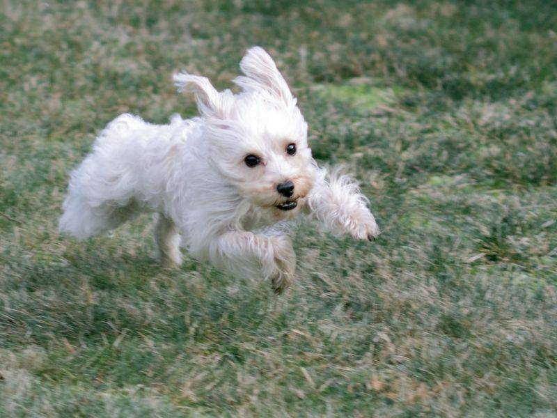 Ob Malteser rennen können? Wie der Blitz! — Bild: Shutterstock / Joyce_Marrero