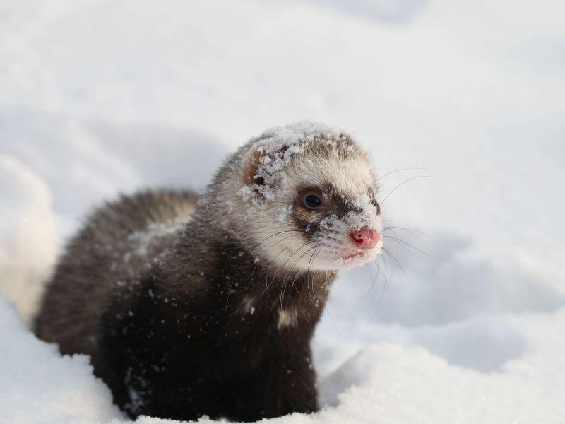 """Marder: """"Na toll. Da kommt man aus seiner Höhle und dann überall Schnee!"""" — Bild: Shutterstock / Igor Boldyrev"""