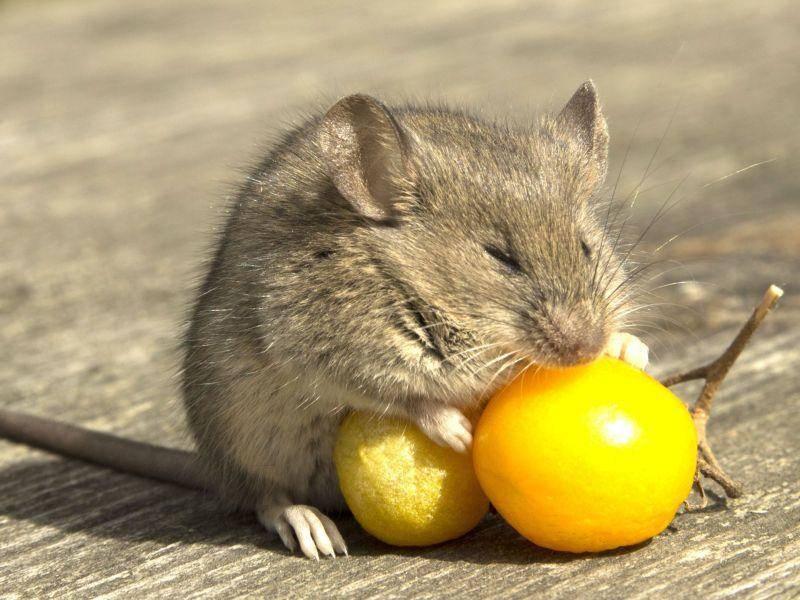 ... und müde Mäuse schlafen auch schon mal beim Essen ein — Bild: Shutterstock / dr OX