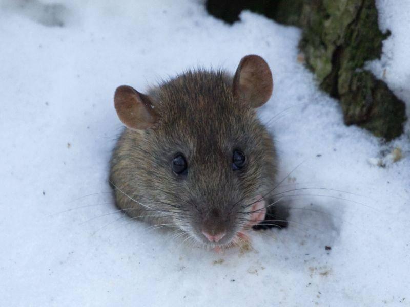 """Maus im Schnee: """"Was sagt der aktuelle Wetterbericht?"""" — Bild: Shutterstock / Vitaly Ilyasov"""