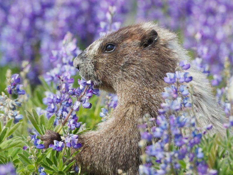 Blumige Aussichten: Ein Murmeltier in Frühlingslaune — Bild: Shutterstock / Pacific Northwest Photo