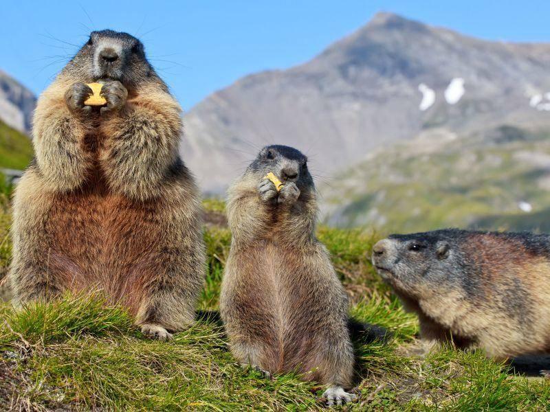 Das ist schön: Murmeltierfamilie ist Mittag in den Bergen — Bild: Shutterstock / Mariusz Niedzwiedzki