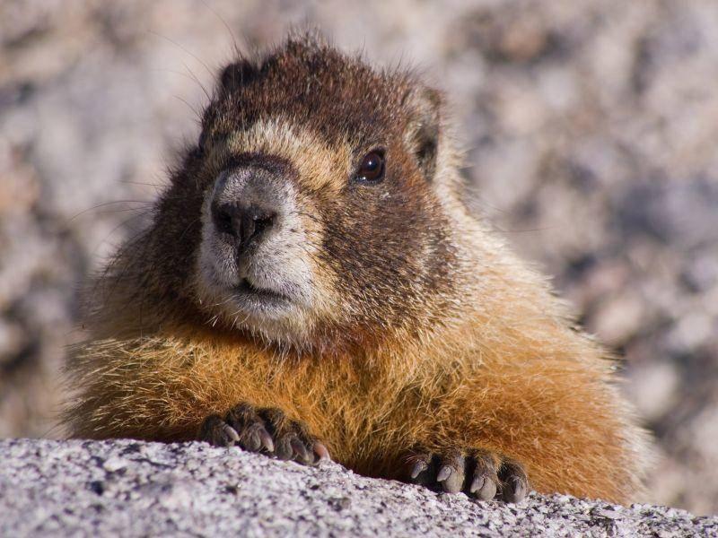 Murmeltier Phil lag bei Wettervorhersage erneut falsch – Bild: Shutterstock / Tom Grundy