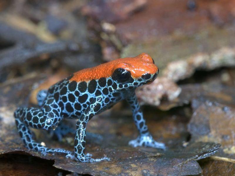 Ein (Frosch)Traum in blau-orange: Netzbaumsteigerfrosch — Bild: Shutterstock / nicola vernizzi