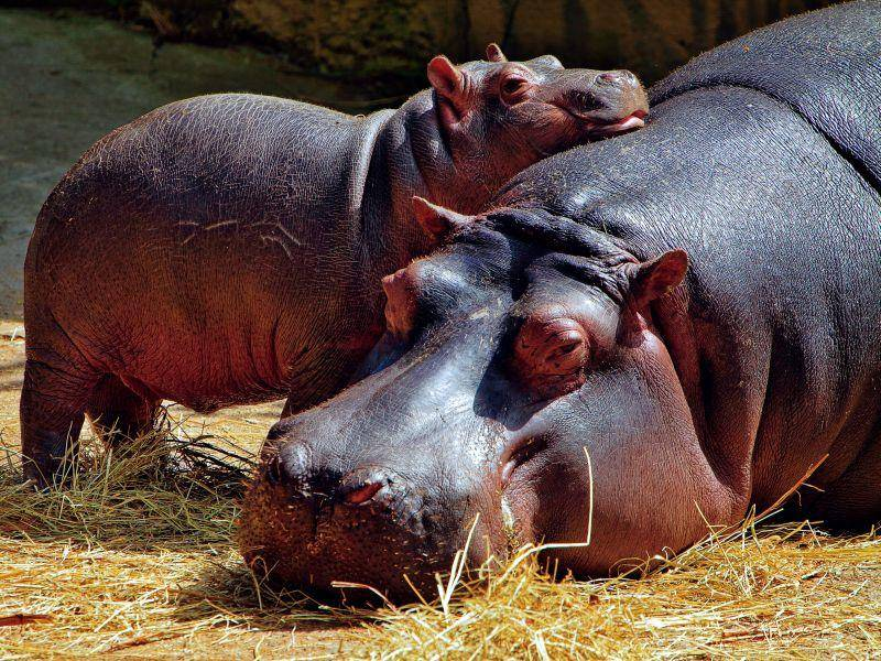 Kuscheln mit der Mama: Bezauberndes Nilpferdbaby — Bild: Shutterstock / abxyz